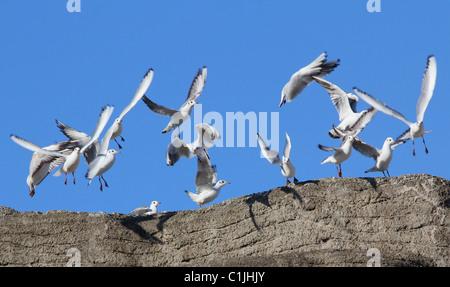 Un gruppo di gabbiani in volo. Foto Stock