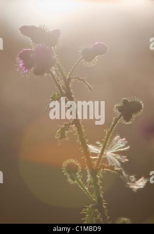 Silhouette di pianta di bardana propagante ( arctium , Asteraceae ) , Finlandia Foto Stock
