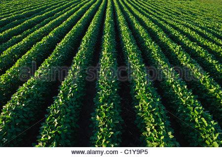 Un verde, mid-crescita campo di soia in estate nel centro di Iowa. Stati Uniti d'America. Foto Stock