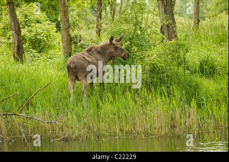 Unione elk o alce (un Alces alces.). Captive, Paesi Bassi. Foto Stock