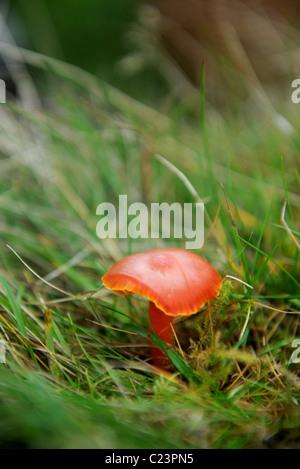 Re. Rovistando esperto Raoul Van Den Broucke raccogliendo una cappa scarlatta fungo su un tour partito circa i funghi Foto Stock