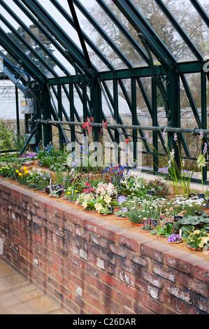 RHS Wisley Casa Alpina in piena fioritura in primavera. RHS Wisley Gardens, Surrey, Inghilterra Foto Stock