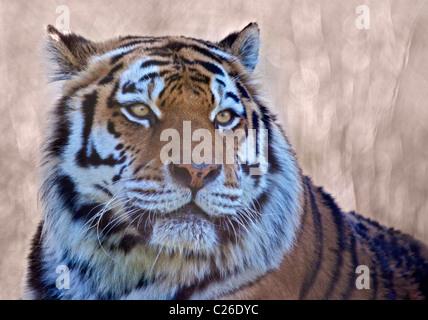 Tigre di Amur (panthera tigris altaica) Foto Stock