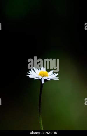 Bellis perennis. Fiore a margherita illuminato contro uno sfondo verde scuro