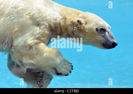 Closeup orso polare (Ursus maritimus) vista di profilo e nuoto sott'acqua Foto Stock