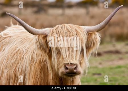 Blonde shaggy rivestito Highland mucca con le corna ricurve su Bodmin Moor, Cornwall Foto Stock