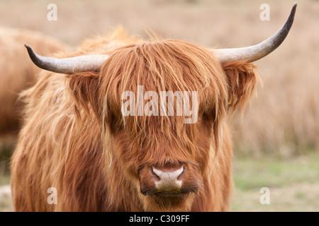 Brown shaggy rivestito Highland mucca con le corna ricurve su Bodmin Moor, Cornwall Foto Stock