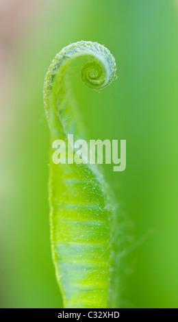 Asplenium scolopendrium. Harts linguetta fern frond la distensione della molla. Regno Unito Foto Stock