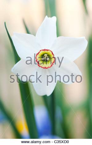 Giallo narciso foto immagine stock 444478 alamy for Narciso giallo