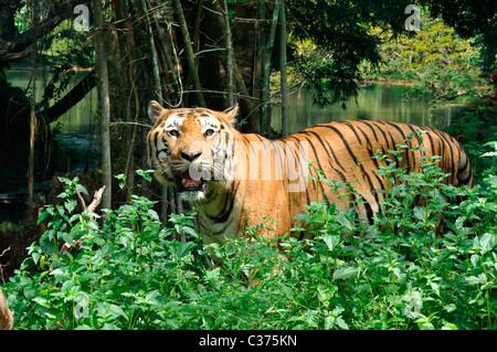 Tigre indiana Foto Stock