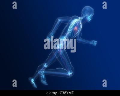 Esecuzione di scheletro - vascolare Foto Stock