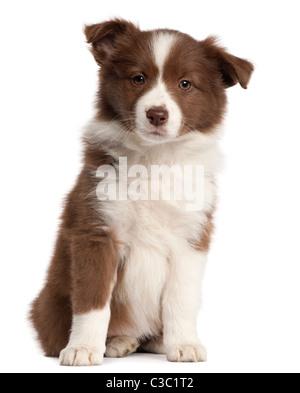 Border Collie cucciolo, 8 settimane di età, seduto di fronte a uno sfondo bianco Foto Stock