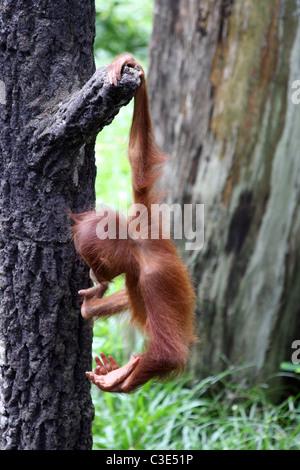 Baby Orangutan appeso a un albero a Singapore Zoo Foto Stock