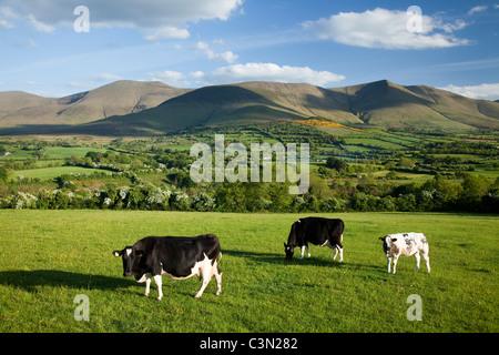 Le mucche al pascolo in Glen of Aherlow, sotto le montagne Galtee, nella contea di Tipperary, Irlanda. Foto Stock