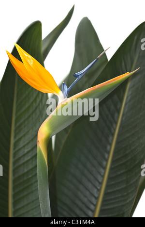Uccello del Paradiso fiore hawaiano un giardino tropicale Foto Stock