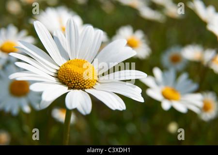 Vista ravvicinata di daisy nel campo in piena fioritura Foto Stock