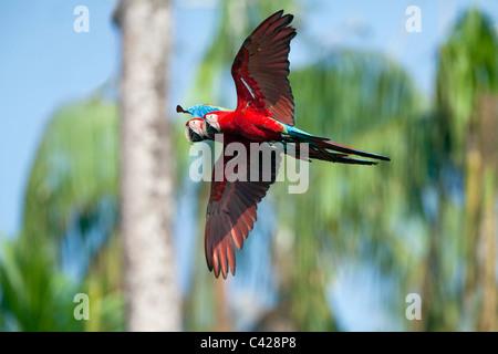 Parco Nazionale del Manu, il rosso e il verde Macaw ( Ara chloroptera ) vicino a Tambo Blanquillo leccare di argilla. Foto Stock
