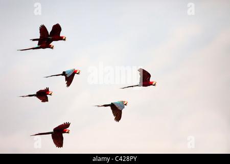 Parco Nazionale del Manu, il rosso e il verde Macaws ( Ara chloroptera ) vicino a Tambo Blanquillo leccare di argilla. Foto Stock
