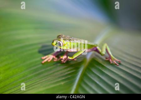 Il Perù, Cruz de Mayo, il Parco Nazionale del Manu, Pantiacolla montagne. White lined rana foglia ( (Phyllomedusa vaillanti ).