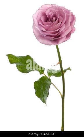 Aqua rosa