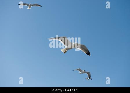 Gabbiani in volo Foto Stock