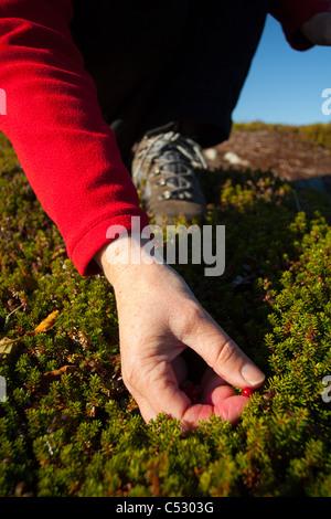 In prossimità di una donna raccolta di bacche al Lago Heitman lungo Chiniak autostrada, Kodiak Island, Southwest Foto Stock
