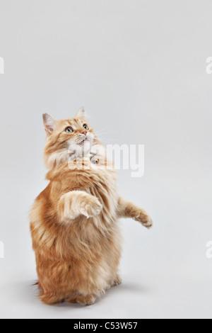 Piccolo orange manx tabby cat di accattonaggio e seduto sulle sue zampe posteriori. Foto Stock