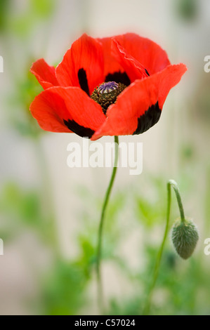 Ladybird poppy - Papaver commutatum Foto Stock