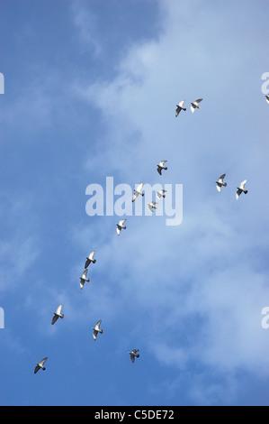 Basso angolo vista di volare le colombe contro il cielo blu e nuvole Foto Stock