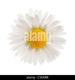 Daisy, Bellis perennis, di fronte a uno sfondo bianco