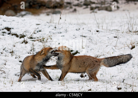 Red Fox (Vulpes vulpes vulpes). Due adulti combattimenti in inverno. Germania Foto Stock