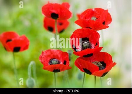 Ladybird poppy - Papaver commutatum papaveri Foto Stock