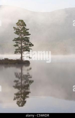 Di Pino silvestre (Pinus sylvestris) nella nebbia. Loch un Eilein, Rothiemurchus, Cairngorms National Park, Scozia, Foto Stock