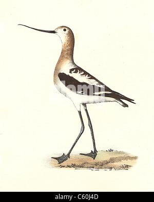 La American Avoset (Recurvirostra americana) vintage litografia bird - James De Kay, Zoologia di New York o il New Foto Stock