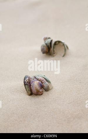 American pantofola patelle (Crepidula fornicata), barene spiaggia, Dorset, Regno Unito