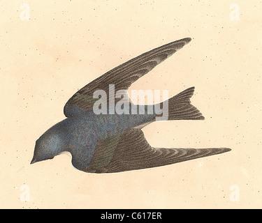 Il bianco-panciuto Swallow, Tree Swallow (Hirundo bicolor, Tachycineta bicolore) vintage litografia bird - James Foto Stock