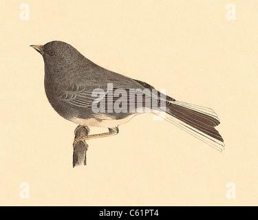 Il Snowbird, dark-eyed junco (Struthus hyemalis, Junco hyemalis) vintage litografia bird - James De Kay, Zoologia Foto Stock