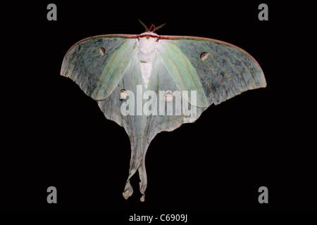 La Luna Indiana falena o indiani Luna Moth (Actias selene) Foto Stock