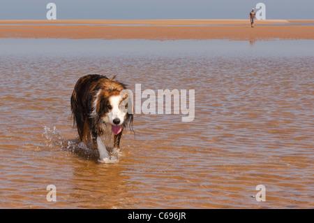 Un Border Collie cane che corre sulla spiaggia a Wells-next-il-mare , Norfolk , Inghilterra , Inghilterra , Regno Foto Stock