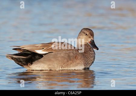 Canapiglia (Anas strepera), Drake sull'acqua. Foto Stock
