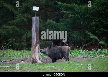Il cinghiale sow (Sus scrofa) al Salt Lick in foresta, Germania Foto Stock
