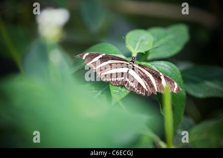 Una zebra Longwing farfalla su una foglia, Heliconius charitonia Foto Stock