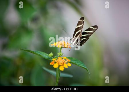 Una zebra Longwing farfalla su un fiore di arancia, Heliconius charitonia Foto Stock