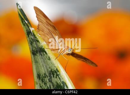 Una Farfalla, Dryas iulia, Julia Heliconian Amid fiammeggiante i colori della primavera Foto Stock