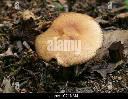 Legno, funghi Agaricus silvicola, Agaricaceae. Foto Stock
