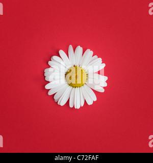 Leucanthemum vulgare . Oxeye daisy su sfondo rosso Foto Stock