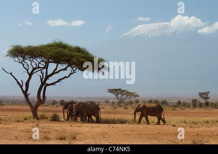 Africa, Kenya, Amboseli-Elephants passeggiate in pianura con Mt. Kilimanjaro in background Foto Stock