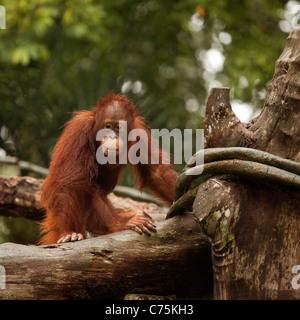 Bornean Orangutan (Pongo pygmaeus) presso lo zoo di Singapore, Singapore asia Foto Stock