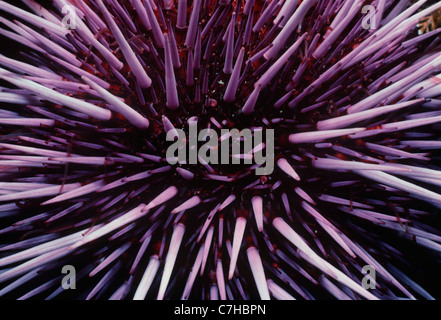 Viola ricci di mare (Strongylocentratus purpuratus). Isole del Canale, California (USA) - Oceano Pacifico Foto Stock