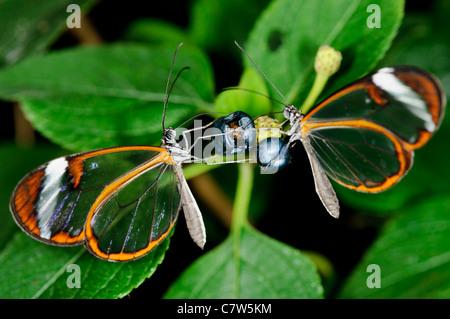 Glasswing Butterfly (Greta Oto) Foto Stock